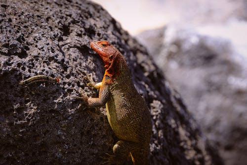 Monitor Lizard On Rock