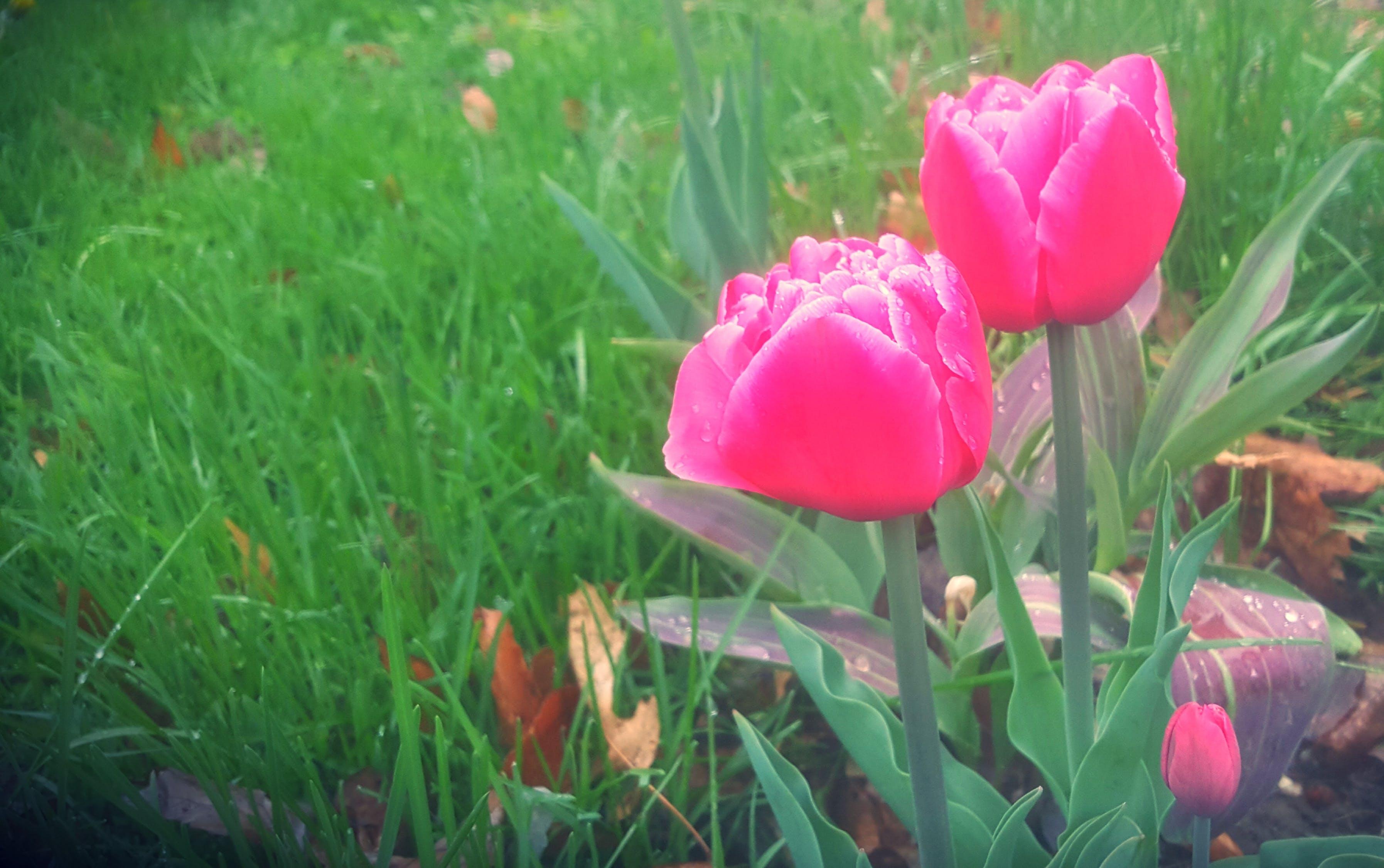 Kostenloses Stock Foto zu blumen, frühling, frühlingsblumen, rosa tulpen