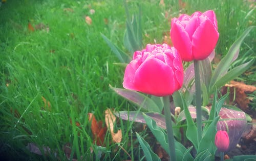 Free stock photo of flowers, Pink Tulips, spring, spring flowers