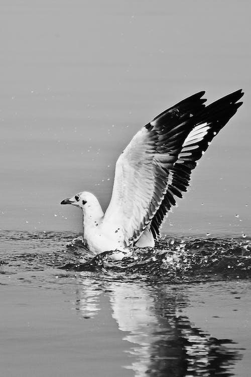 Бесплатное стоковое фото с чайка, черно-белый