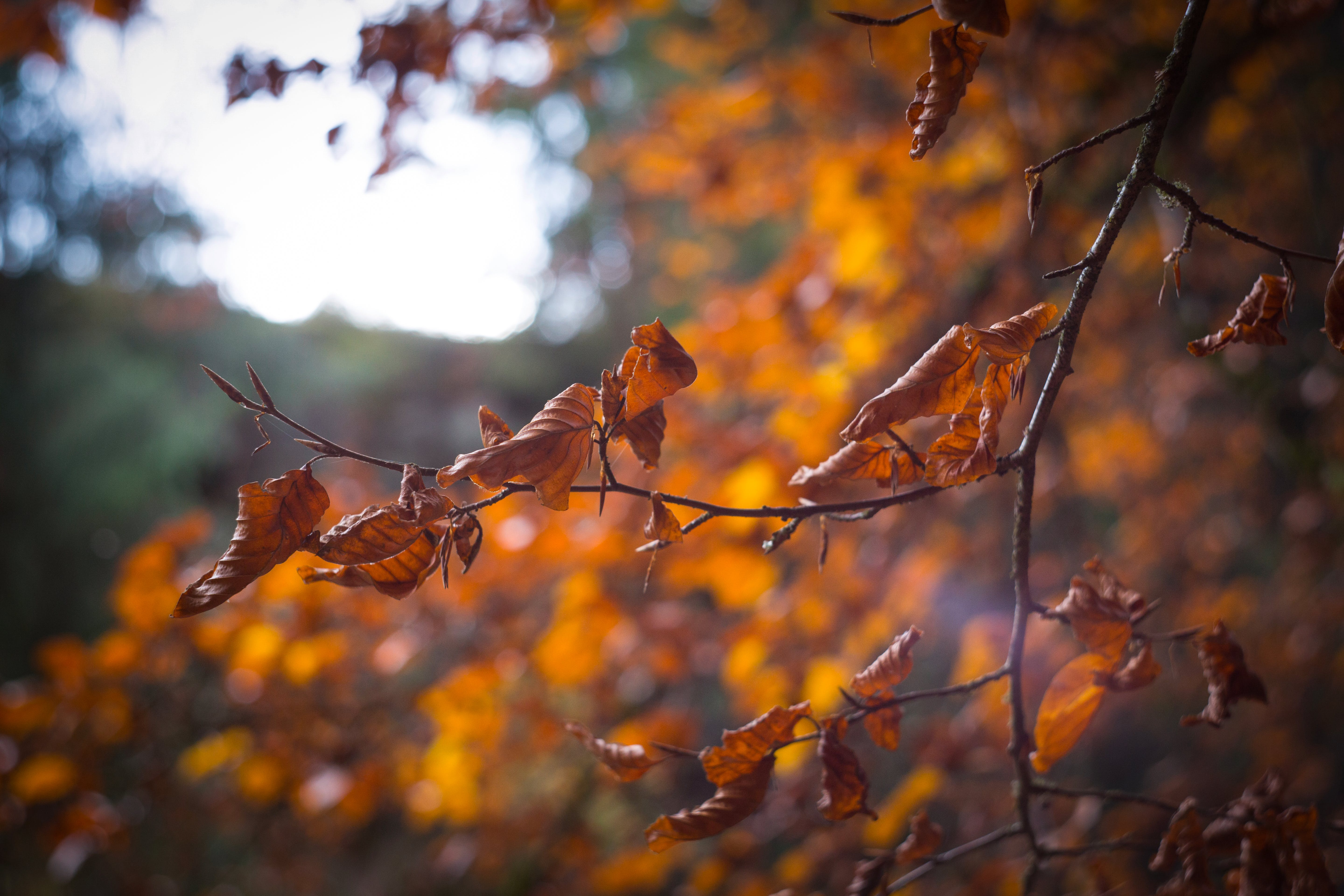 Selective Focus of Withered Leaves of Tree