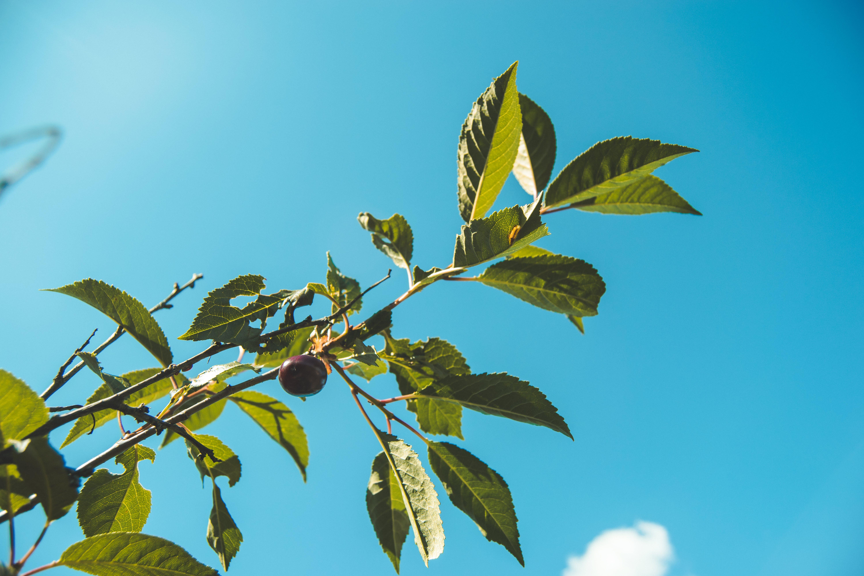Free stock photo of blue, blue skies, blue sky, cherries