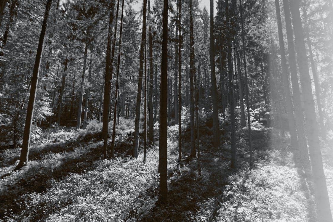 bomen, boomstammen, Bos