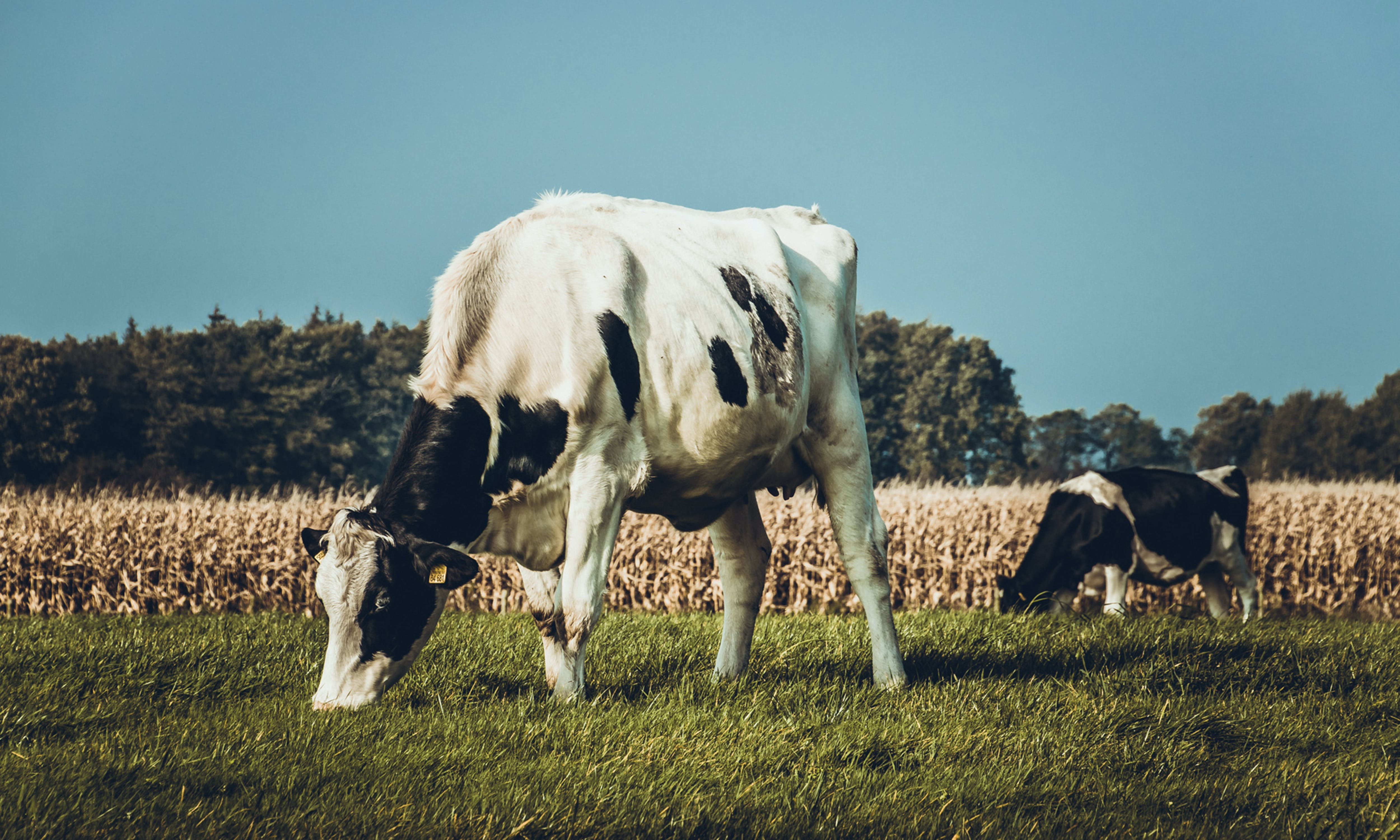 動物, 哺乳動物, 牛, 牧場 的 免费素材照片
