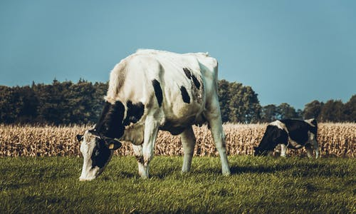 Cattle On Green Grass