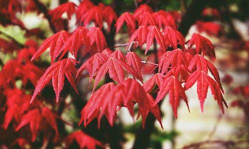 Darmowe zdjęcie z galerii z czerwony, drzewa, gałęzie, klon
