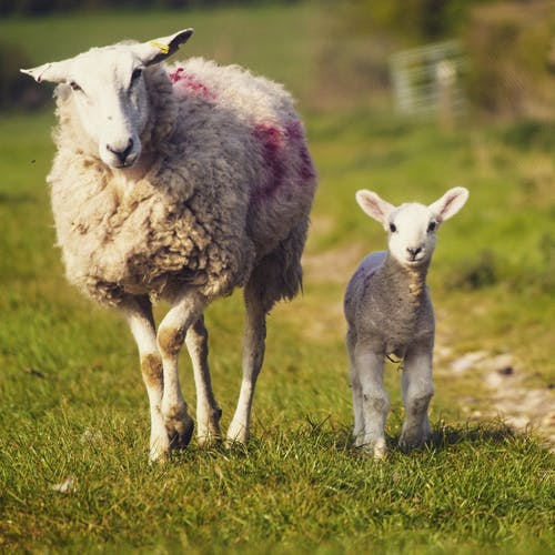 Foto stok gratis #sheep #lamb #nature #spring #baby