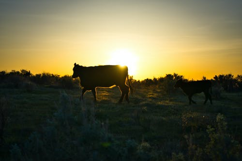 Free stock photo of beef, calf, cow, livestock