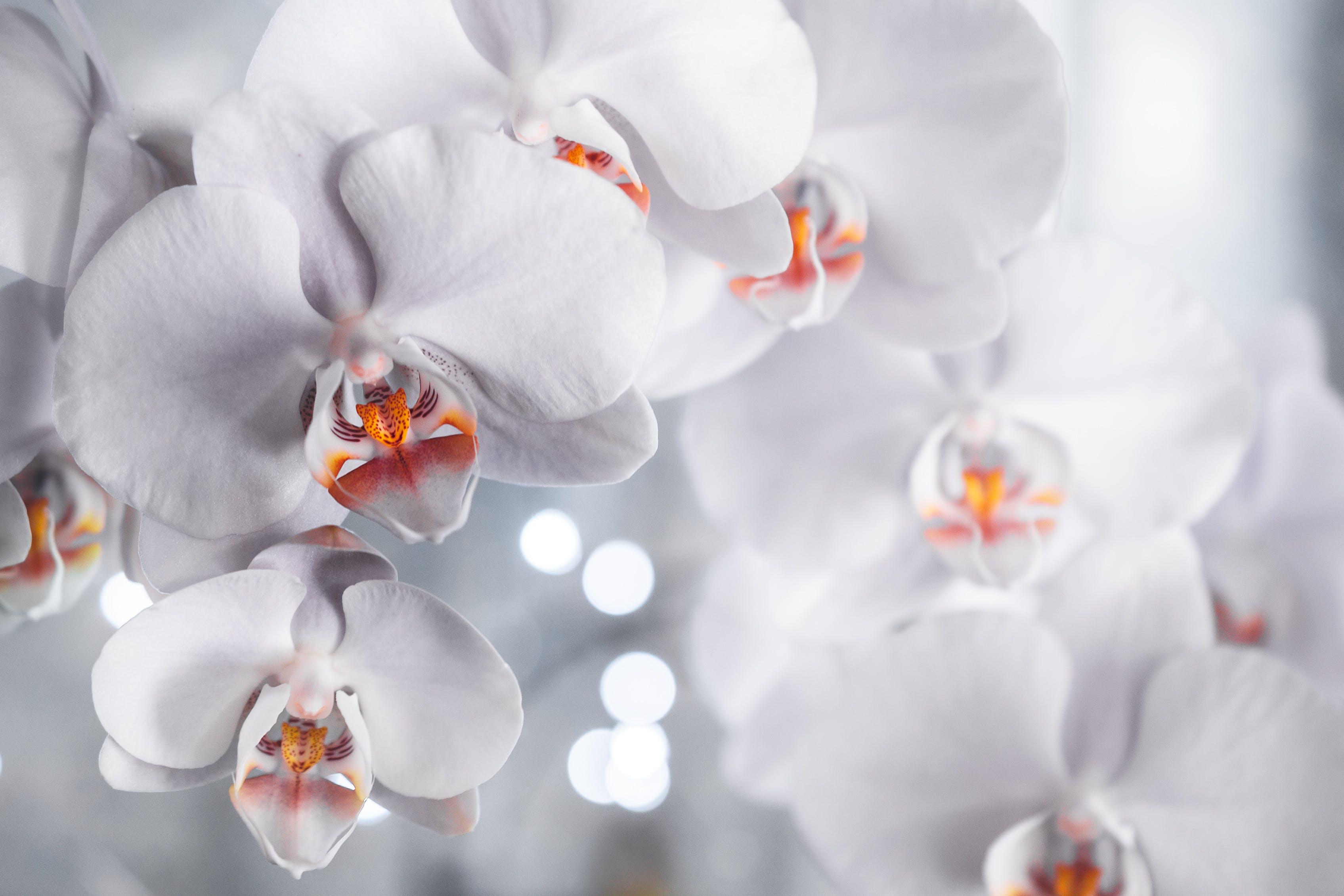 Kostnadsfri bild av bakgrundsbilder mac, blommor, brudorkidé, flora