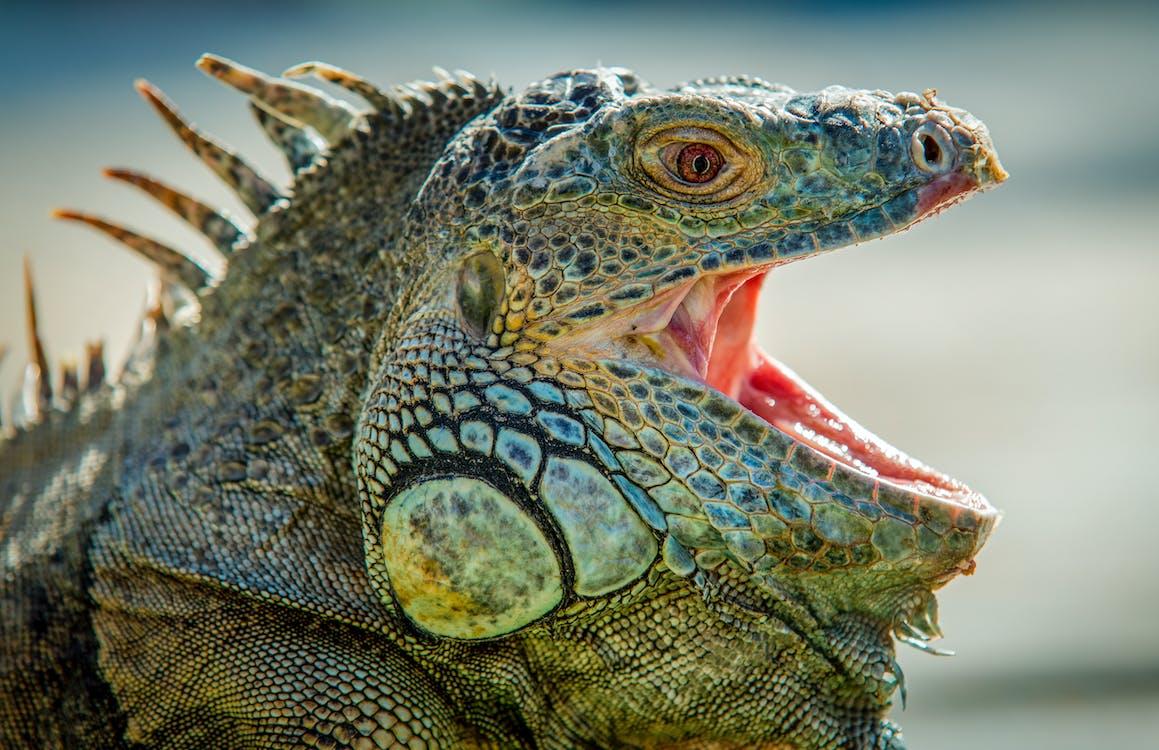 iguana, reptil