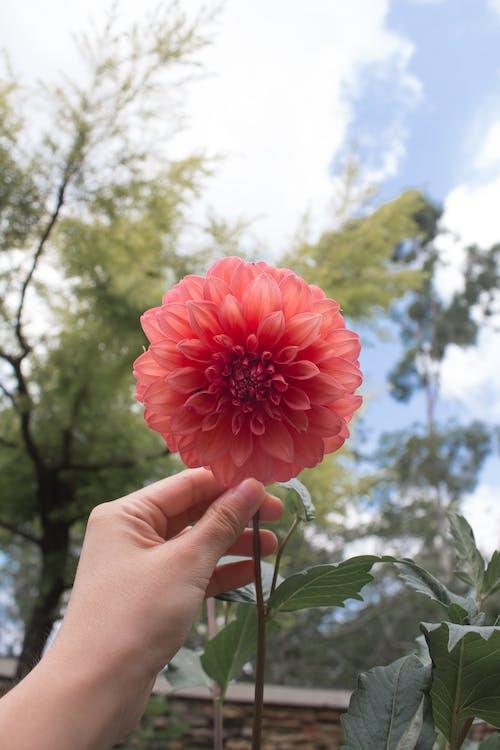 Foto d'estoc gratuïta de dia, estètic, flor, flor vermella
