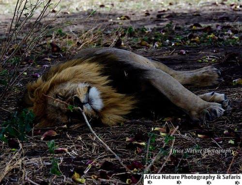 Kostnadsfri bild av tanzania djurlivssafari, tanzania foto turer, tanzania safari turer