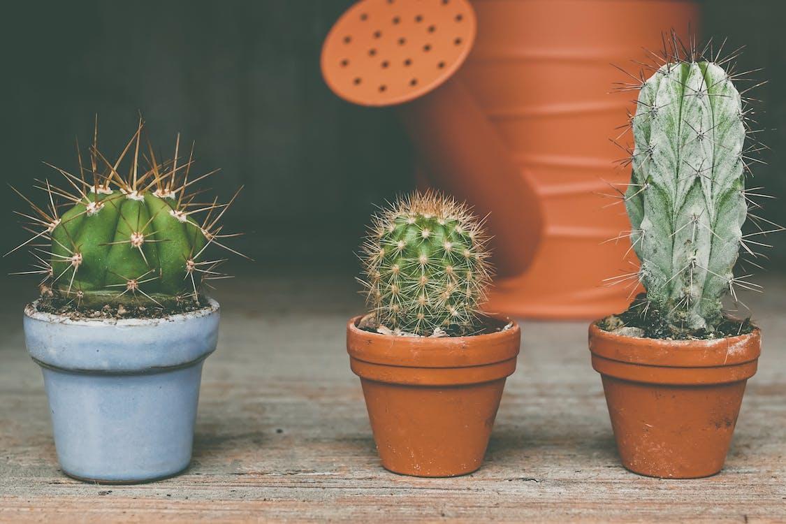 仙人掌, 刺, 室內植物