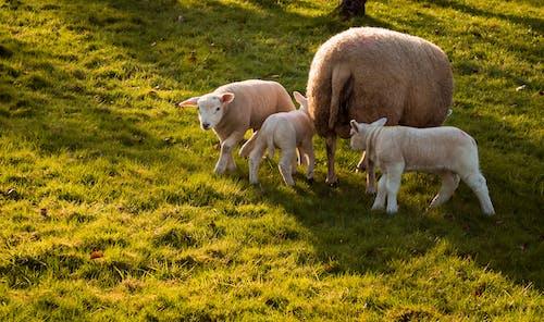 Kostnadsfri bild av djur, får, giethoorn, lamm