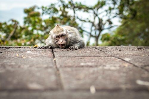 僧帽, 動物, 動物園, 動物攝影 的 免费素材照片