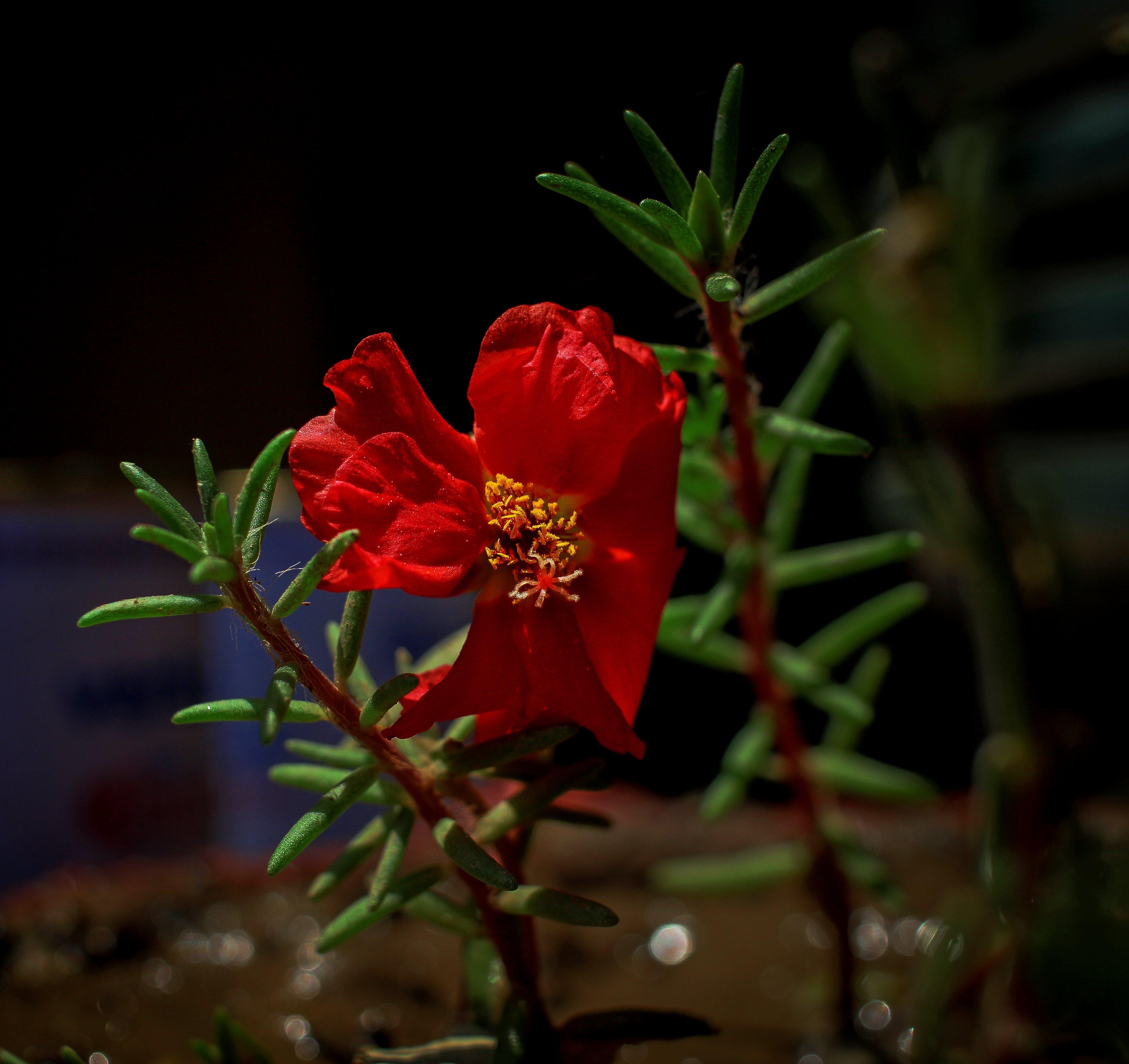 Základová fotografie zdarma na téma #příroda, 4k tapeta, barevná tapeta, červená kytka