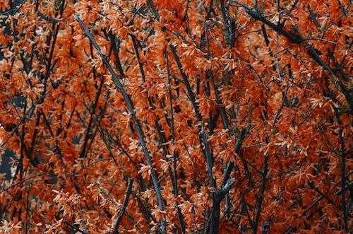 Imagine de stoc gratuită din arbust, crengi, plantă, portocală