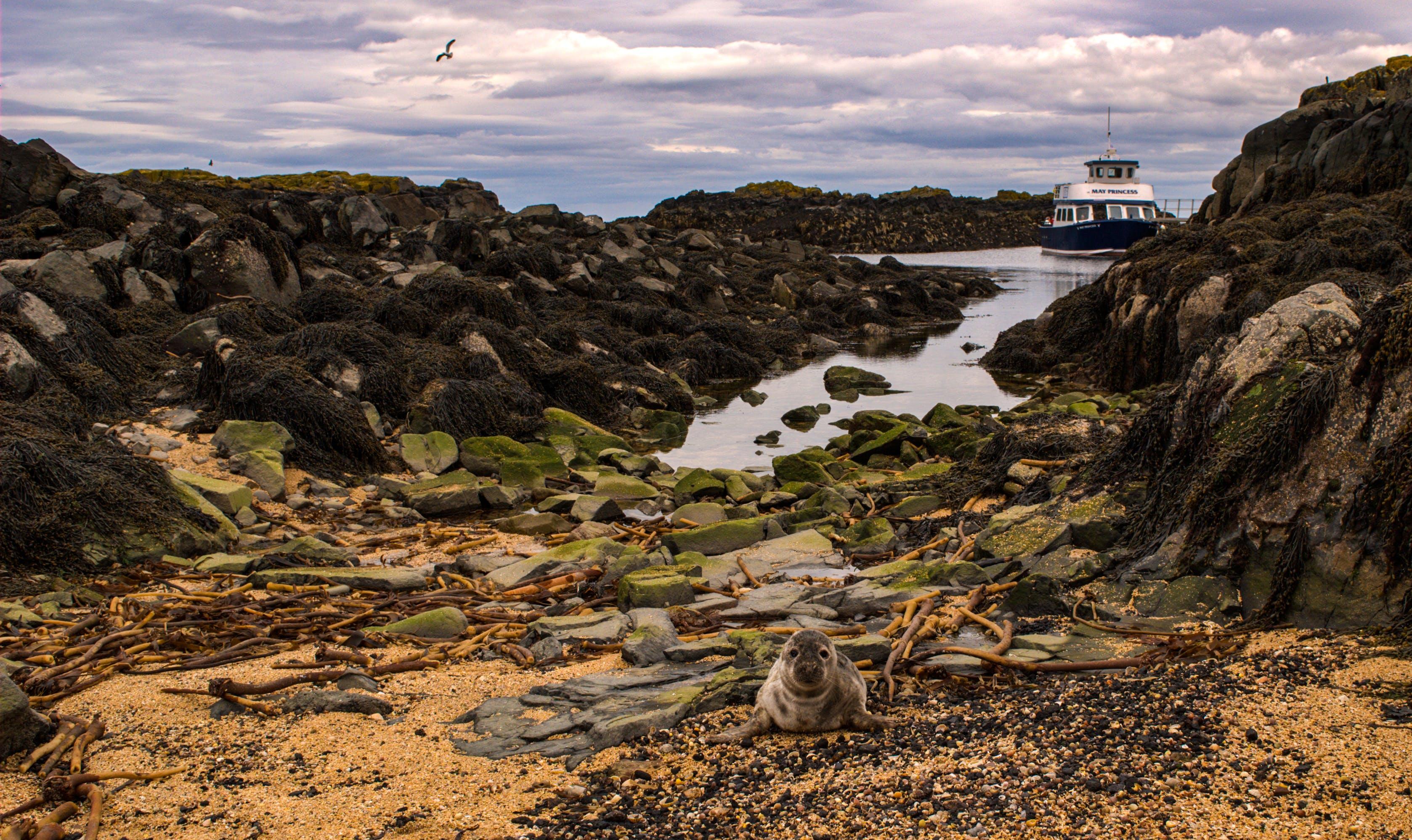 動物, 可愛, 密封, 岩石海岸 的 免费素材照片