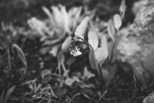 Free stock photo of beautiful flower, black, black and white, black and-white