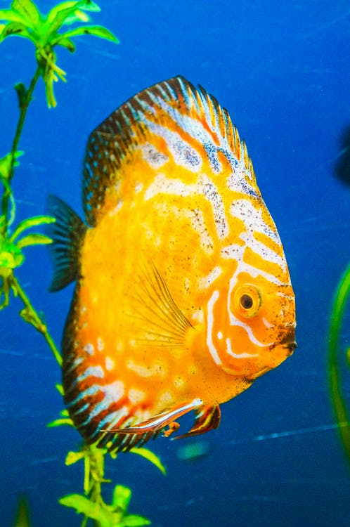 Yellow Discus Fish