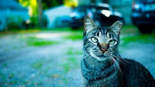 小貓, 猫特写镜头, 猫的肖像 的 免费素材照片