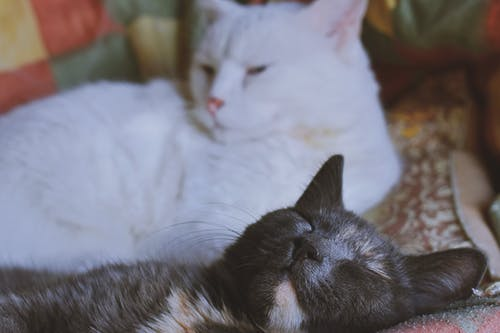 Two Short-fur White and Gray Cats
