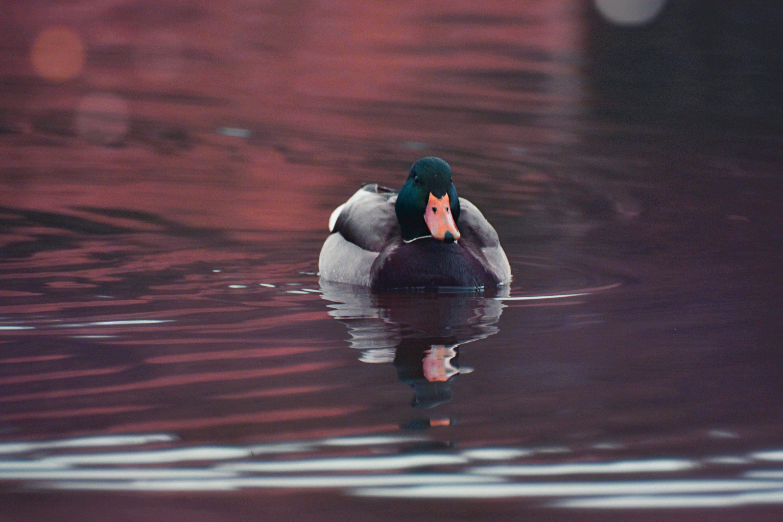 Gratis lagerfoto af and, flod, fugl, handling