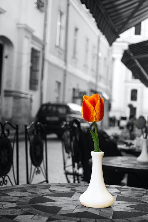 Gratis arkivbilde med blomst, blomst på bordet, enkeltblomst, rød blomst