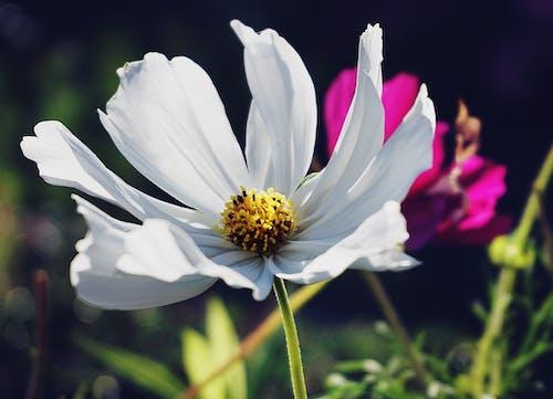 Darmowe zdjęcie z galerii z białe kwiaty, biały kwiat, kwiat, kwiaty
