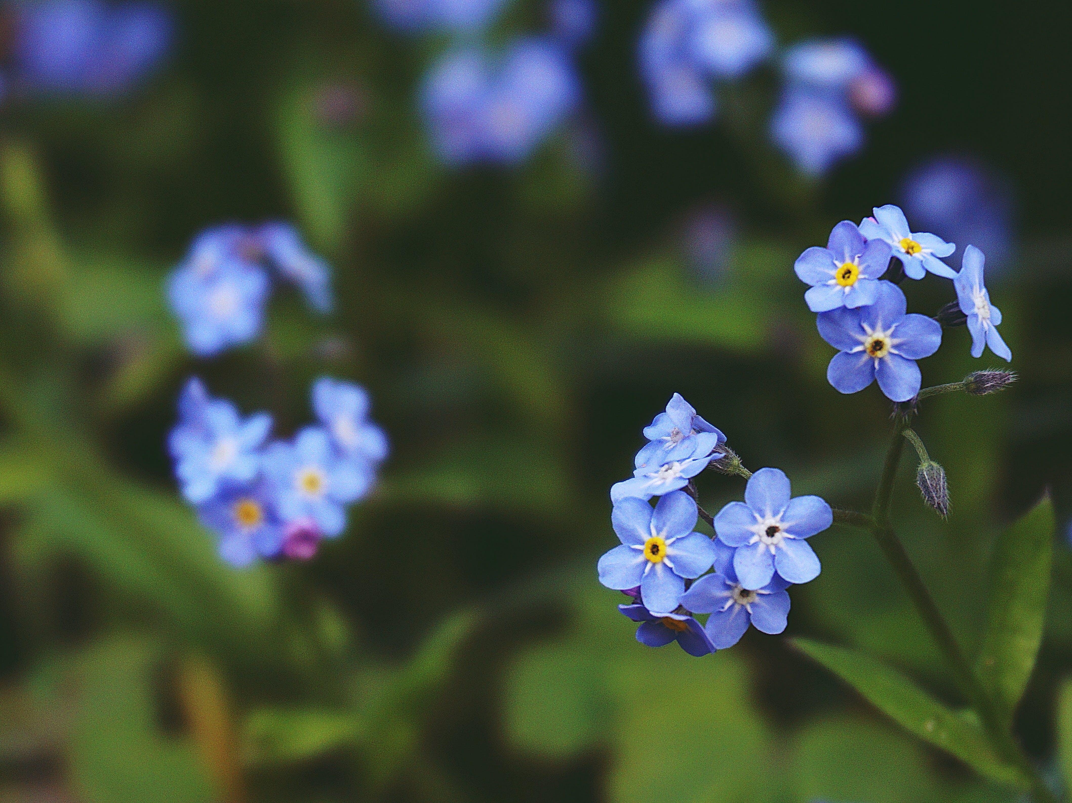 Kostnadsfri bild av 4k tapeter, anläggning, blå blommor, blomma tapeter
