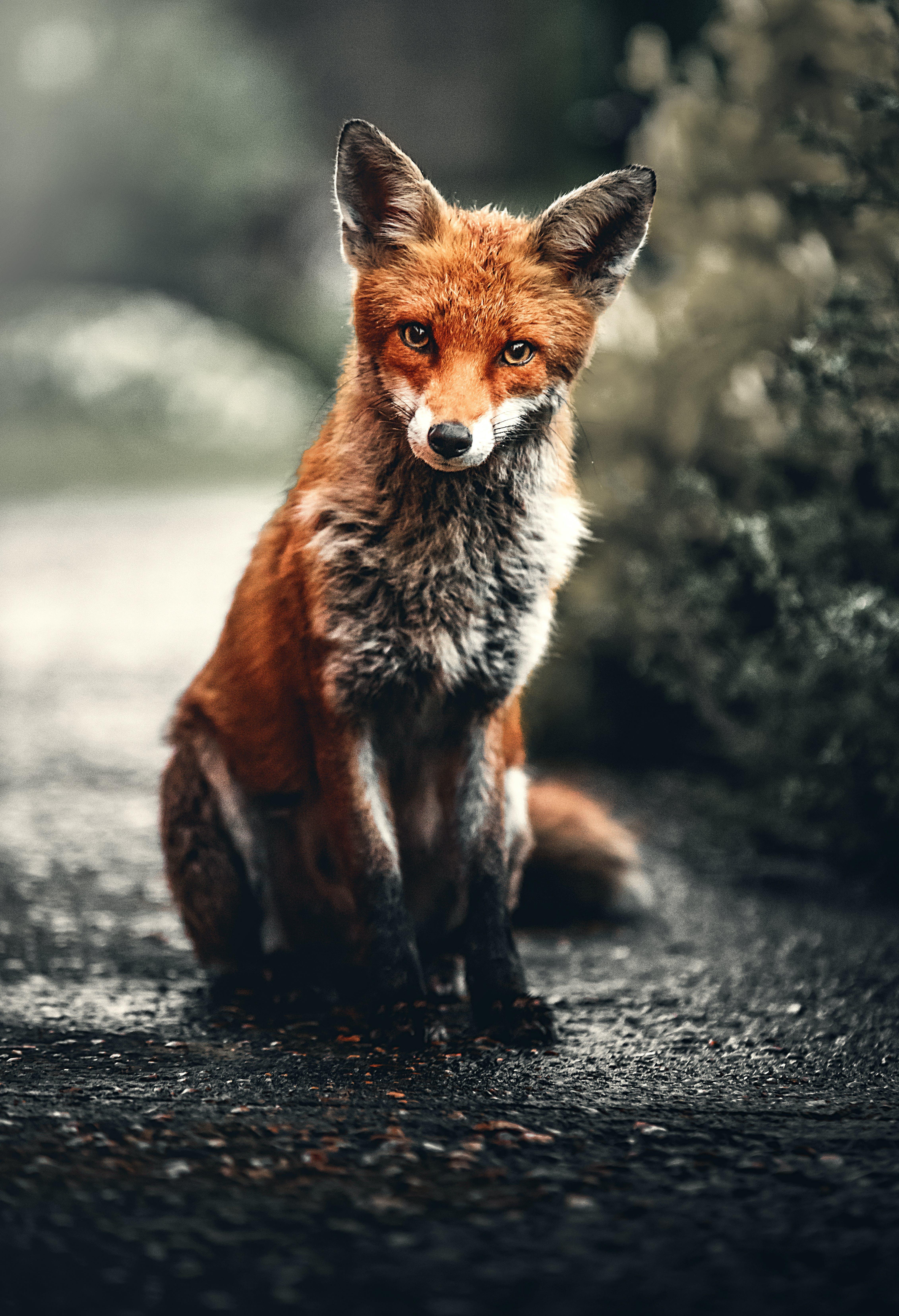 Photo of Fox Sitting On Ground