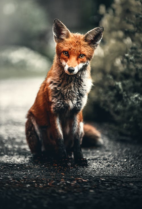 Photo of Fox Sitting On Ground