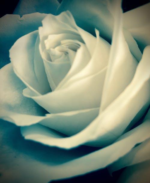 玫瑰, 花 的 免费素材照片
