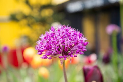 Foto d'estoc gratuïta de flor morada
