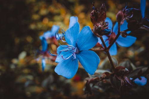 Free stock photo of beautiful flower, blue