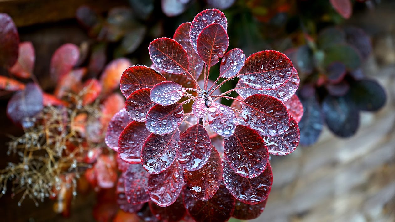 Red Leafed Plant Closeup Photography