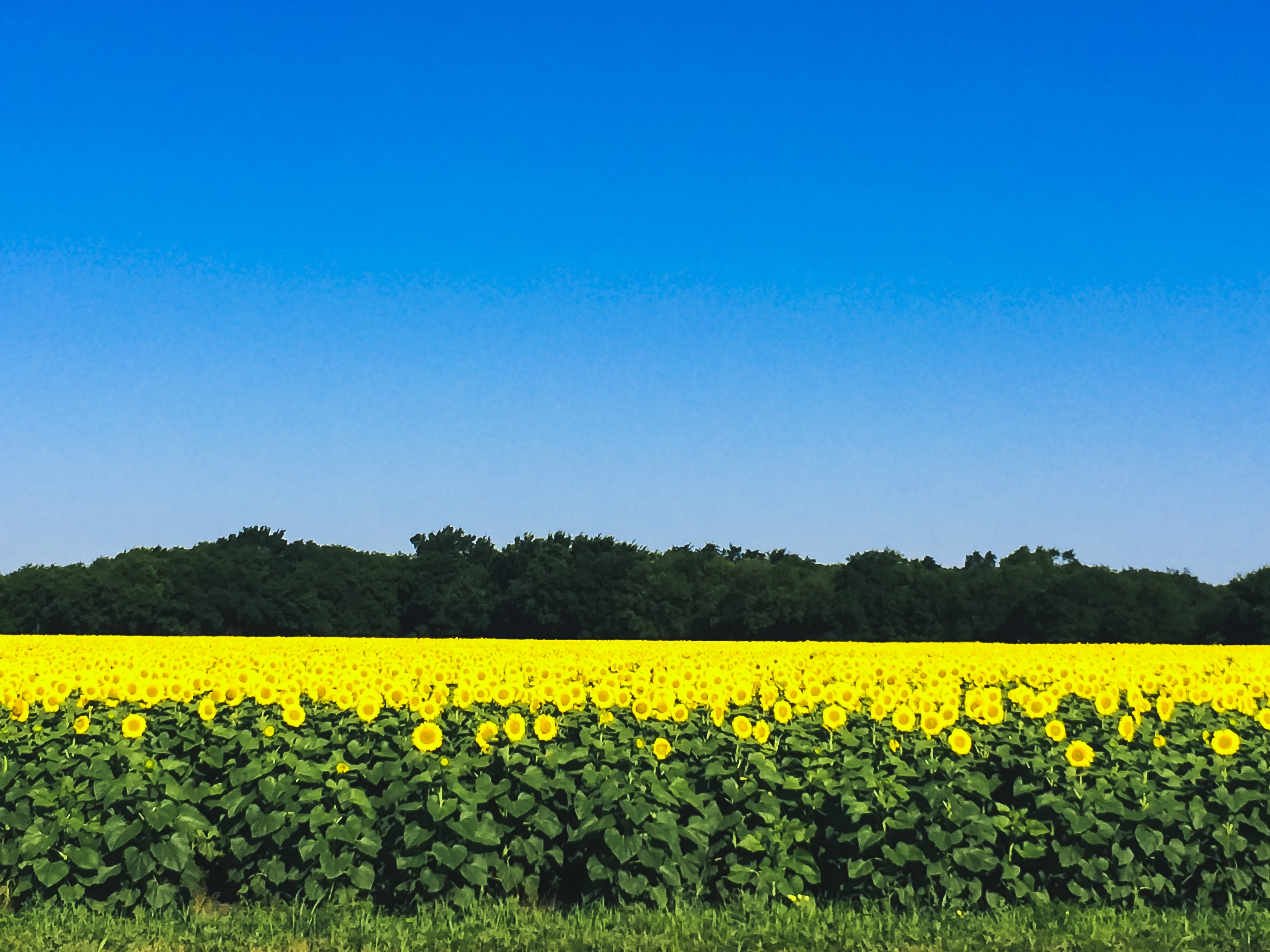 Gratis lagerfoto af afgrøder, bane, blomster, felt af solsikker