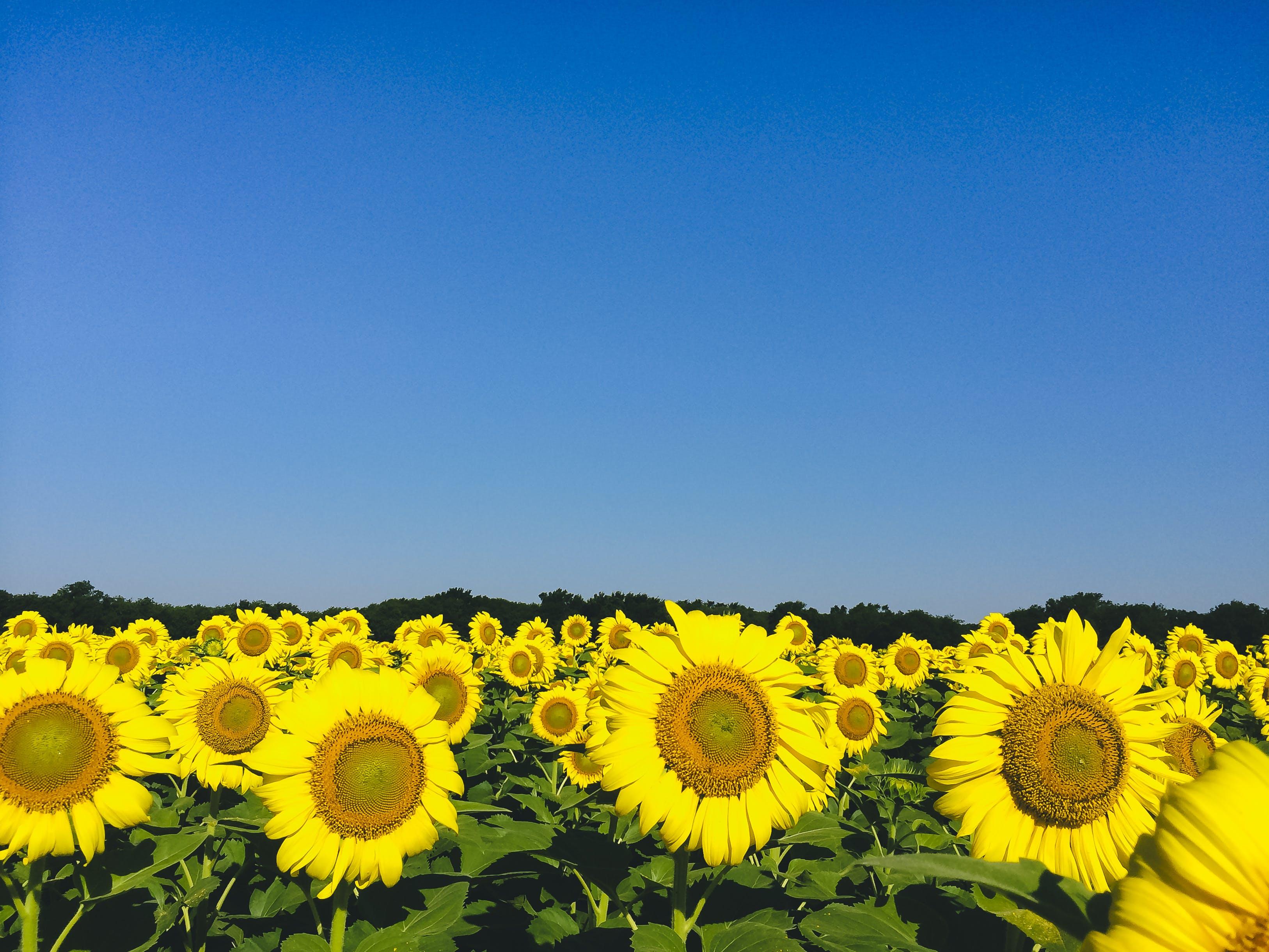 Gratis lagerfoto af afgrøder, blå himmel, blade, blomst tapet