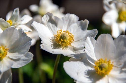Безкоштовне стокове фото на тему «анемона, білий, ботаніка, великий план»