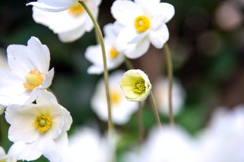 anemon, arka fon, bahar, Bahçe içeren Ücretsiz stok fotoğraf
