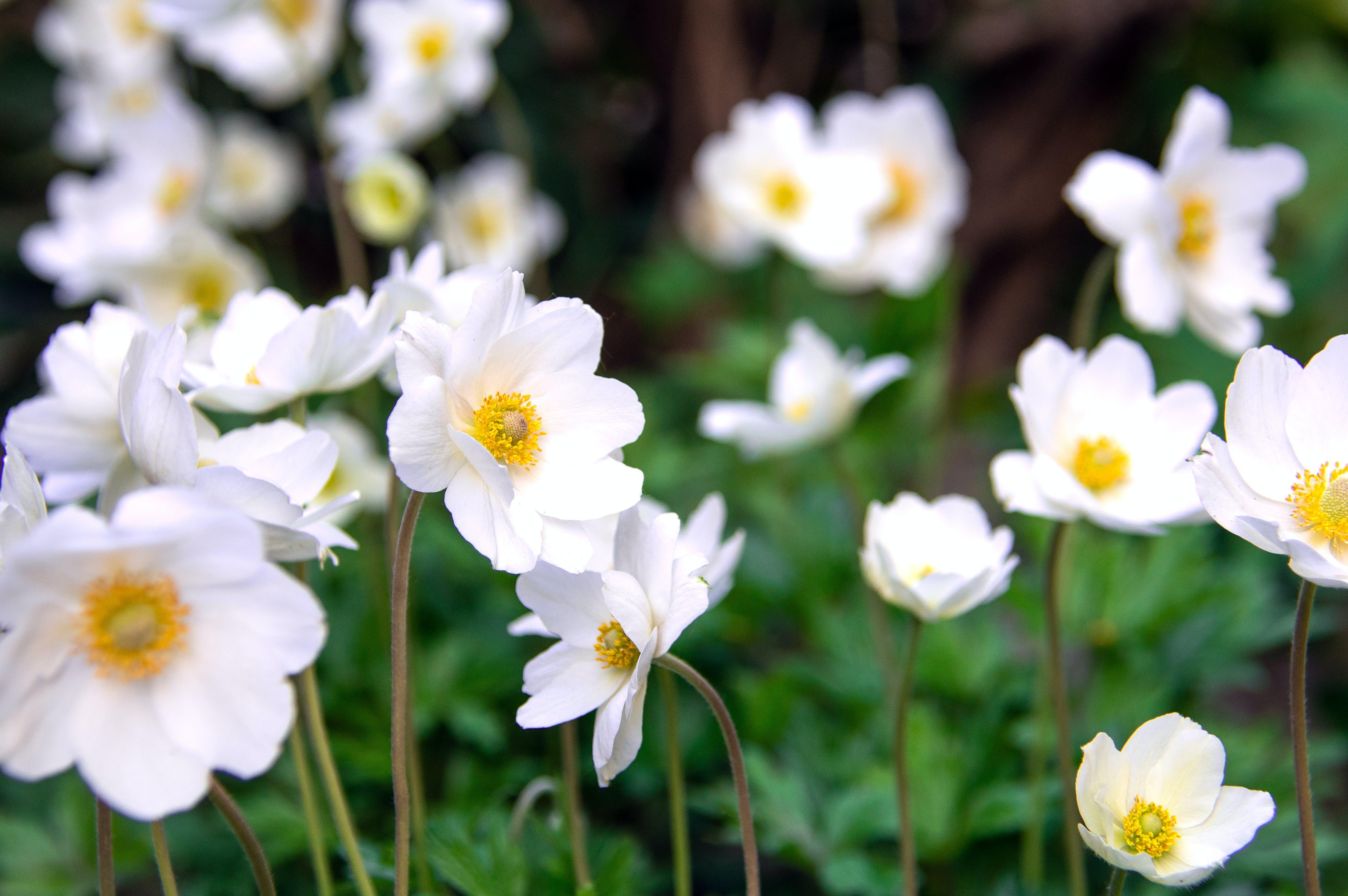 Gratis lagerfoto af anemone, baggrund, blomst, botanik