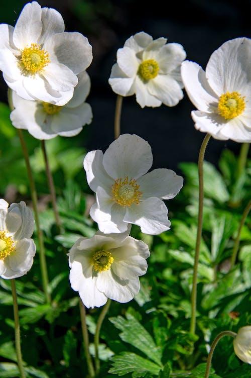 คลังภาพถ่ายฟรี ของ การเจริญเติบโต, ขาว, ดอกไม้, ดอกไม้ป่า