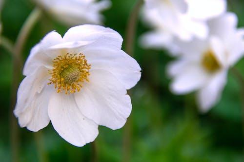 Foto d'estoc gratuïta de anemone, blanc, bonic, bosc