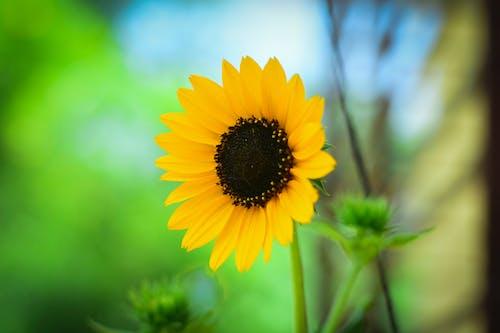 Immagine gratuita di bel fiore, fiore giallo, girasole