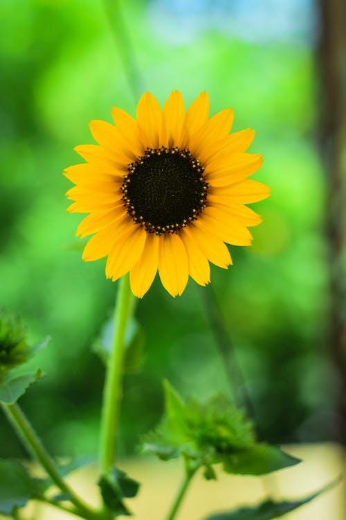 Free stock photo of beautiful flower, sunflower, yellow flower