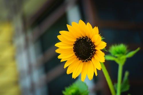 Free stock photo of beautiful flower, sunflowers, yellow flower