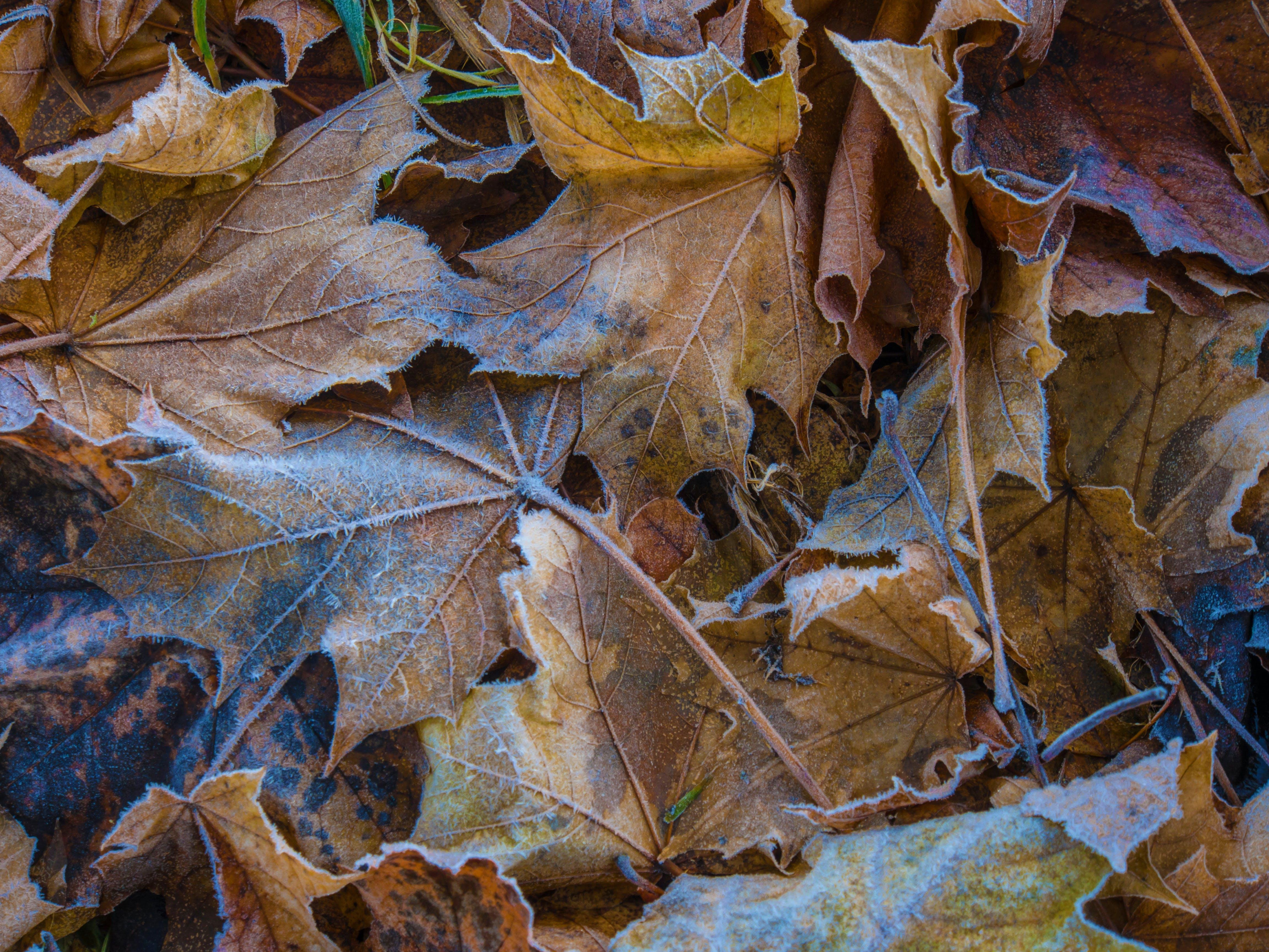 Kostenloses Stock Foto zu blätter, frost, herbst, herbstblätter