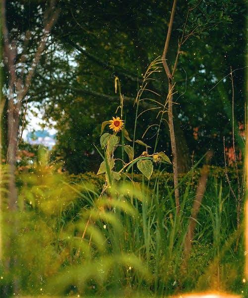คลังภาพถ่ายฟรี ของ กลางวัน, กลางแจ้ง, ดอกทานตะวัน, ดอกไม้สีเหลือง