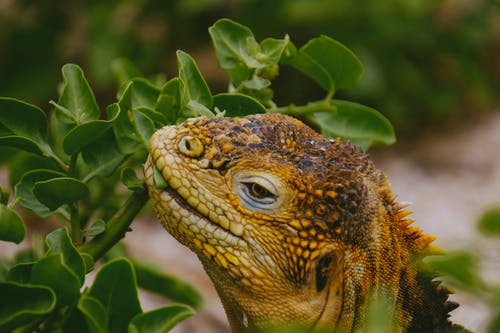 Brown Lizard Nipping at Green Leafed Plant