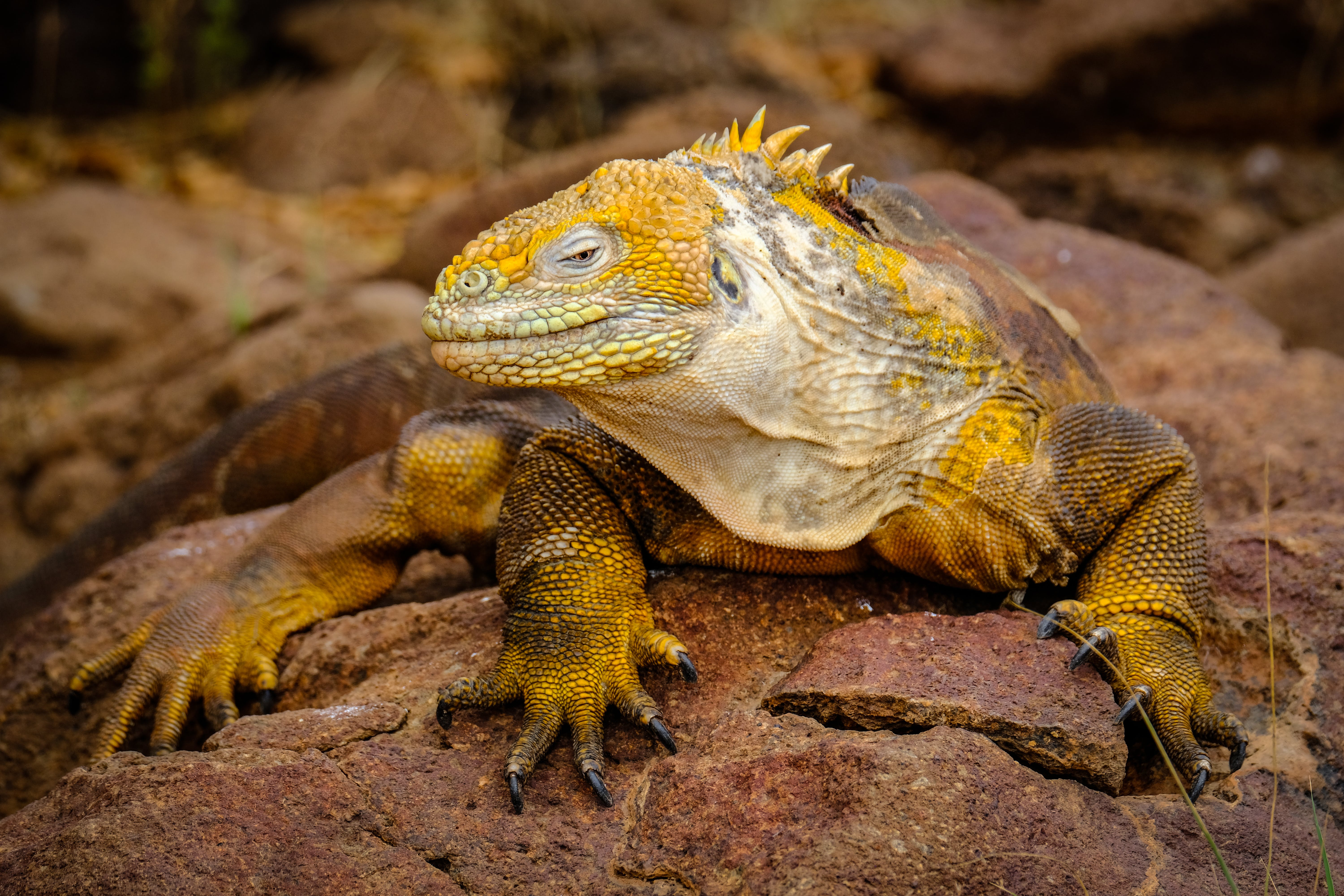 Yellow Iguana on Rock